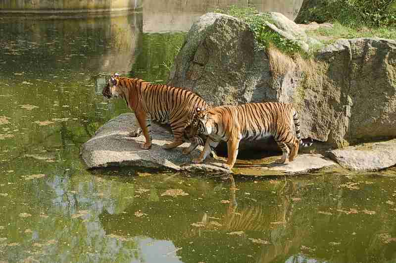Hinterindische Tiger im Zoo-Berlin (Mai 2013)